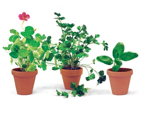 herb pot six superb herbs for containers gardening