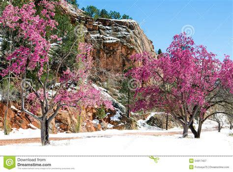 cherry blossom trees at rock open space colorado spri stock photo image 54917457
