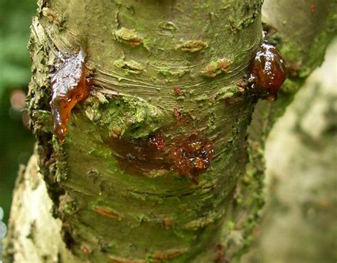 bacterial canker its symptoms causes and treatment