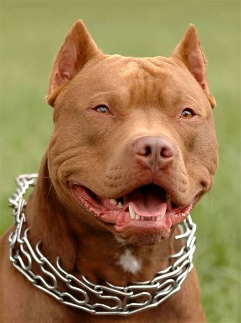 brown pit brown american pit bull terrier laughing image