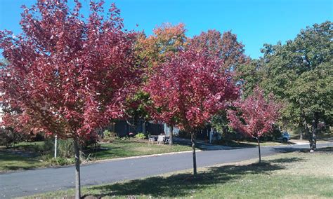 maple tree small yard the on line buzzletter our fiery maple trees