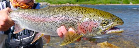 fishing trout types of river trout a druble wall
