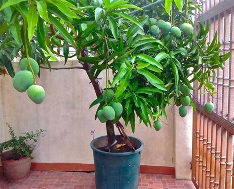 how to pot a tree how to grow mango tree in pot