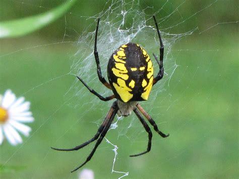 Garden Spider Photos Argiope Aurantia Yellow Garden Spider Black And Yellow
