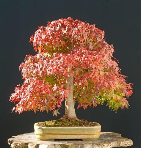 maple tree growing tips how to grow japanese maple bonsai trees grow a bonsai tree