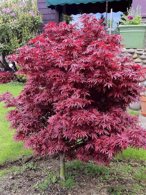 maple tree growing tips the 25 best japanese maple tree ideas on japanese maple japanese maple