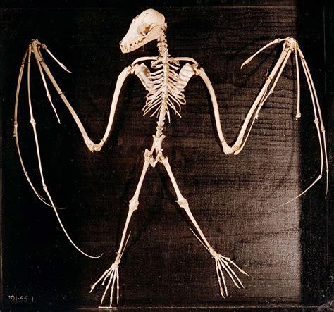 a skeleton a l outrance bat skeleton