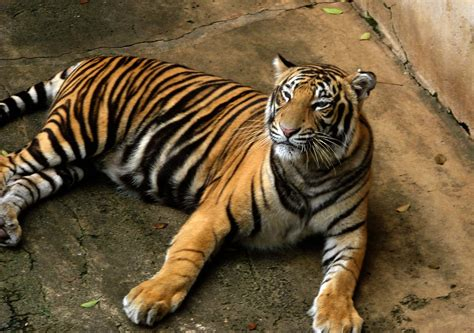 of tiger protect india s tigers from harmful human activities