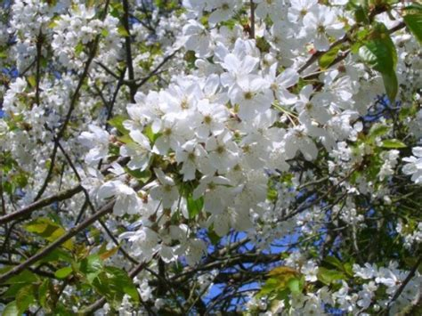 cherry trees for sale choose your cherry plant