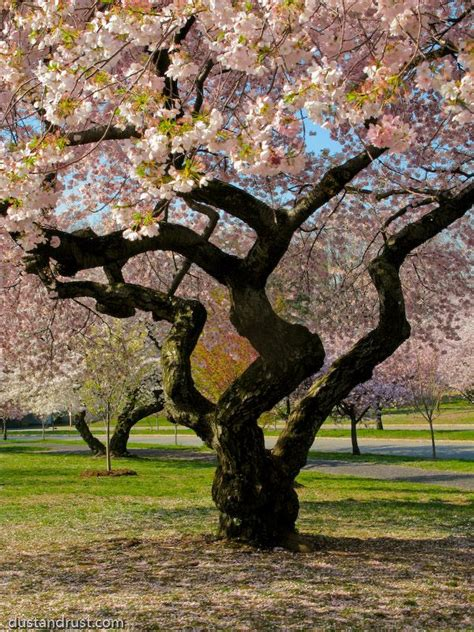 branch brook park in belleville nutley new jersey 3000 cherry trees the most in america