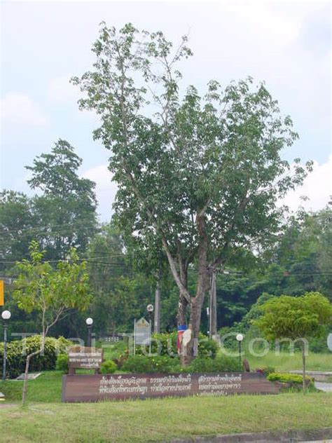 rubber tree st ท องเท ยวไทย 77 จ งหว ด
