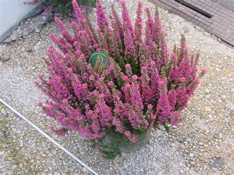 plantes d hiver langlet fleurs provins seine et marne 77