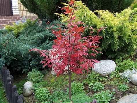 maple tree small yard five small to medium trees that can fit in small spaces