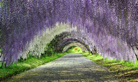flower tunnel image gallery wisteria tunnel