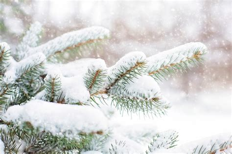 tree in the snow free photo snow in pine tree pine branch free image on