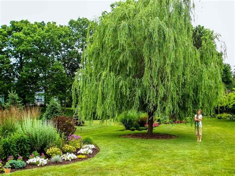 small trees for sale weeping willow shade trees for sale the planting tree