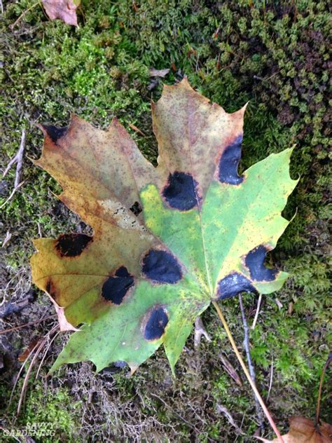 maple tree problems plant diseases in the garden how to prevent and them