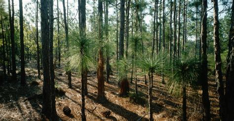 trees nc grove of needle pine trees carolina pictures
