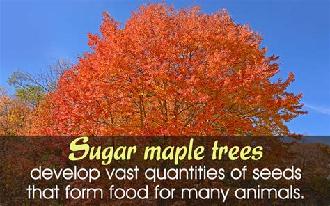 maple tree facts sugar maple tree facts