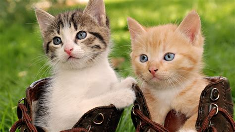 Cat Wallpaper 1920x1080 by Hd Cat Wallpapers 1920x1080 69 Images