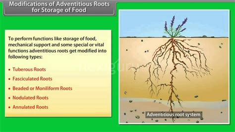 Modification Of Root by Modifications Of Adventitious Roots For Storage Of Food