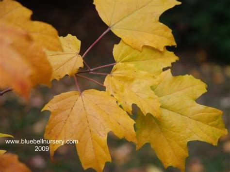 maple tree kingdom 50 best images about acer maples on trees lush green and scarlet