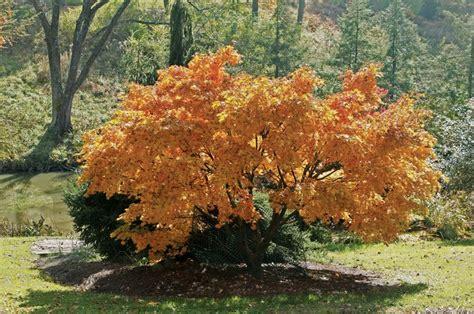 67 best japanese maple images on japanese maple acer palmatum and gardening