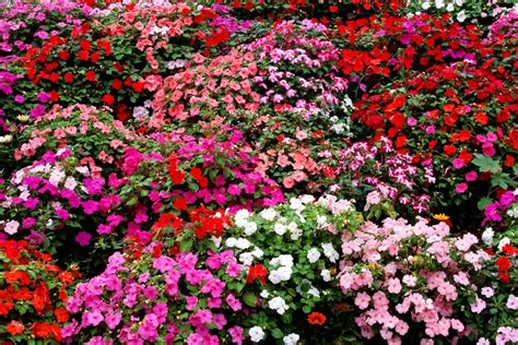 17 Best Images About Family by Impatiens Flowers Growing Tips Best Types To Plant