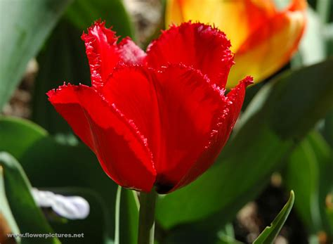 of flowers pictures of flowers tulips
