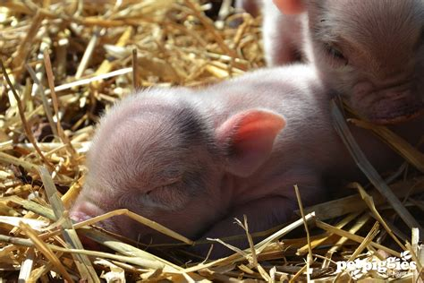 micro for sale micro pigs for sale at petpiggies september 2013 quotes