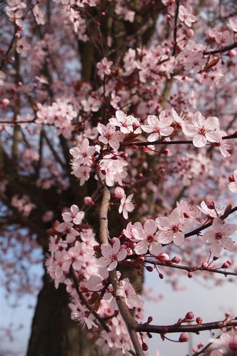 cherry blossom tree 183 free stock photo