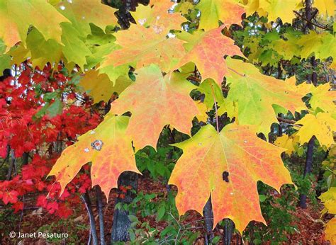 maple tree leaves how to make maple syrup i choosing trees and getting sap