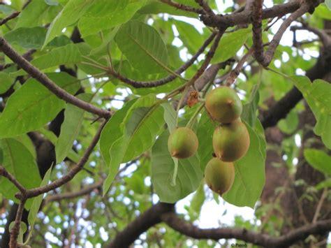 tree of gifting trees madhuca the honey tree