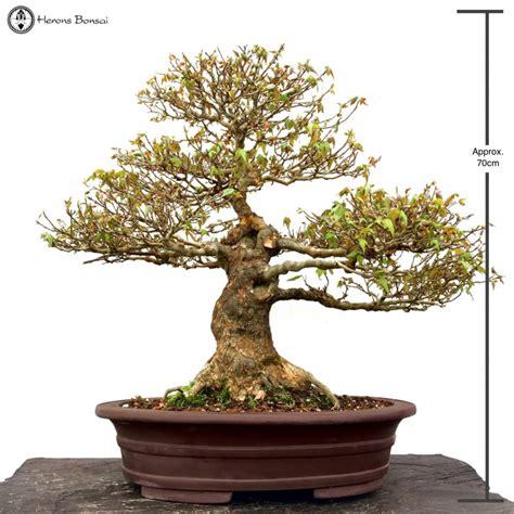 large trident maple bonsai tree herons bonsai