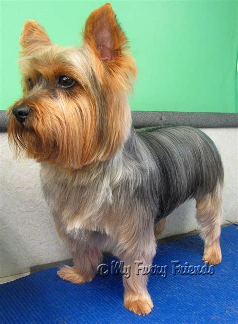 how to cut yorkie hair at home search results for shorkie haircuts styles black