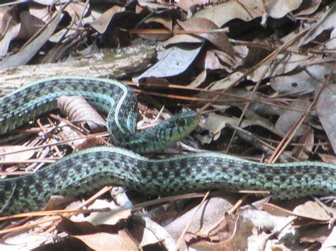 Garden Snake Florida Quot Florida Blue Quot Eastern Garter Snake Flickr Photo