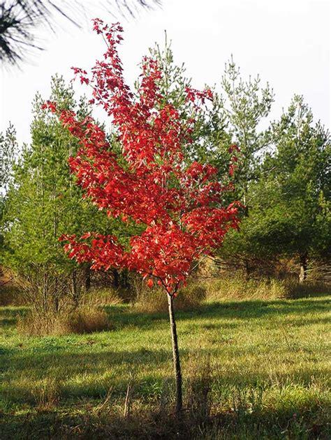 maple tree nursery oak birch maple serviceberry shade tree nursery stock in minnesota