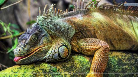 Lazy Colorful Lizard Wallpaper