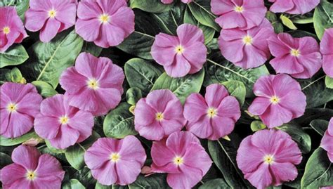 lowes garden center flowers annuals buying guide