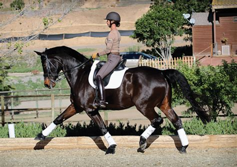 rhythm for horses dressage position 101 with shannon peters dressage today
