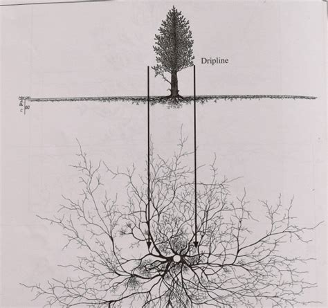 pine tree root system diagram images