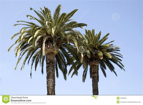 trees next palm trees next to each other stock photo image 1052290
