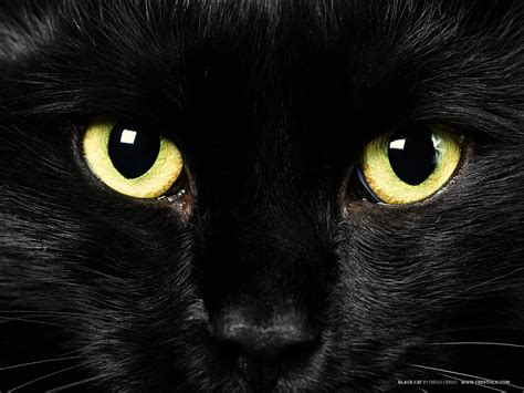 cat black cats lover black cats myths and beliefs