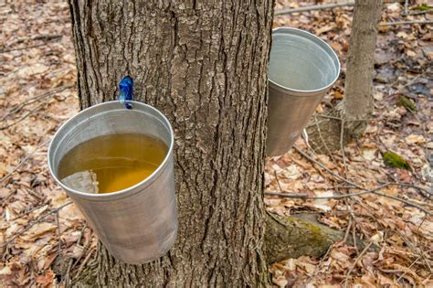 maple syrup helps to reduce chronic inflammation alternative medicine magazine