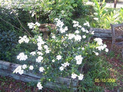 Gardenia Jasminoides Frostproof Specialty Gardening Gardenia Jasminoides Frostproof 1