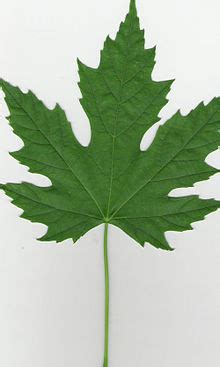 maple tree identification pictures acer saccharinum