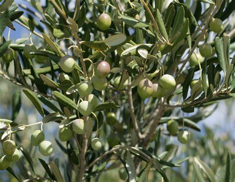 all tree olive tree muslim uk
