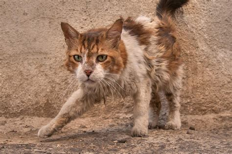 of a cat photo 1217 08 unkempt cat at sikkat al safaa a corner of