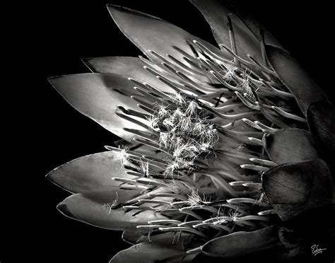 black and white protea in black and white photograph by endre balogh