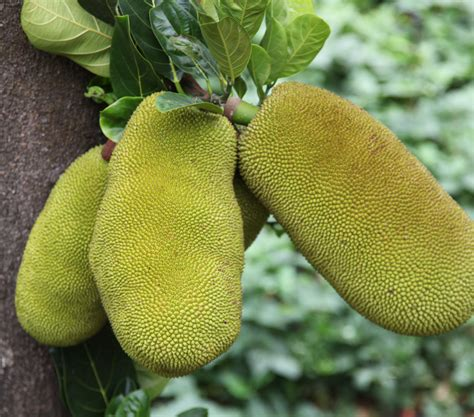 tree preservatives jackfruit products kitchen friendly products no